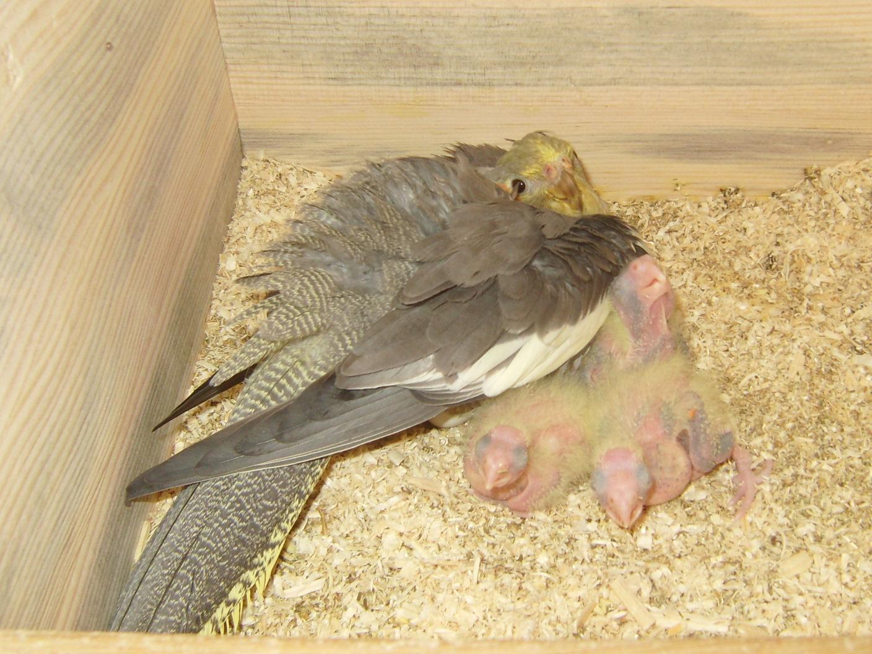 Попугаи кореллы: как содержать и ухаживать, фото и видео