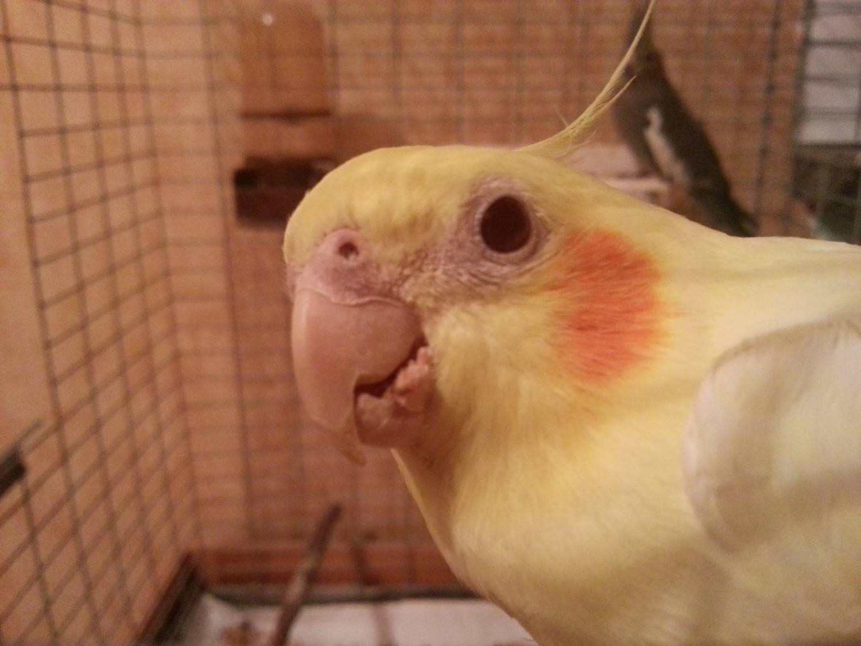 чем обработать попугая от паразитов