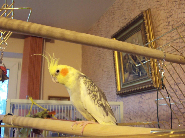 Как лечить попугая корелла в домашних условиях