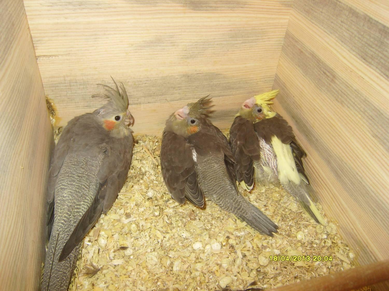 Разведение попугаев корелла в домашних условиях как